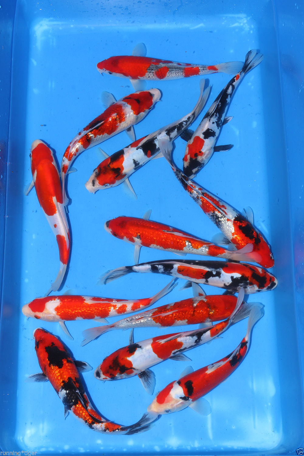 Japanese koi 393 tosai koi pond fish for sale bjs for Expensive koi carp for sale
