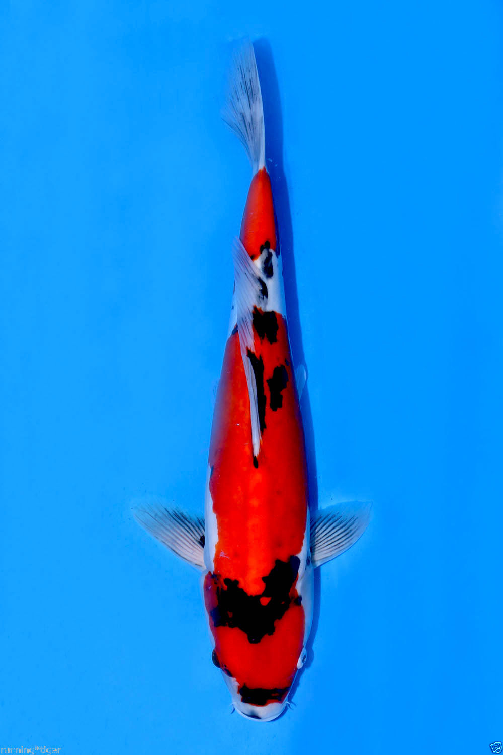 Japanese koi 395 sanke koi pond fish for sale bjs for Sanke koi for sale