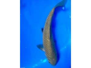 Japanese koi 462 chagio koi pond fish for sale bjs for Koi food for sale